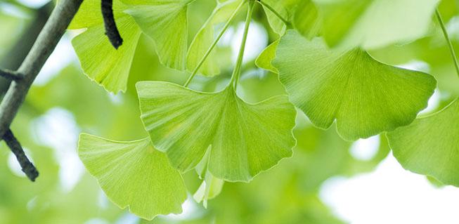 Lá cây Bạch quả (Ginko Biloba)