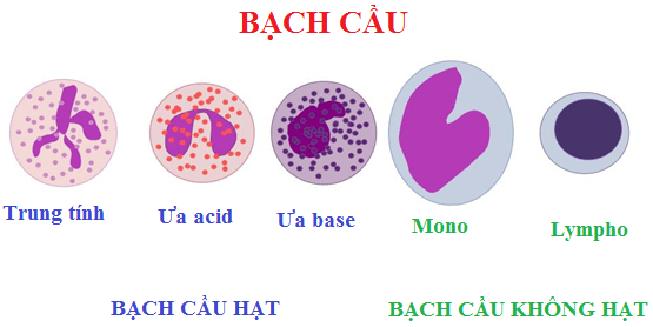 bach-cau-la-gi