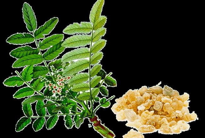 cay-nhu-huong-An-Do-Boswellia-serrata