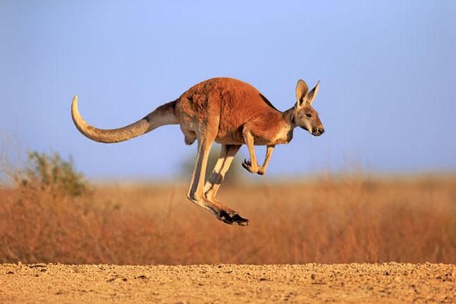 chuột túi đỏ red kangaroo
