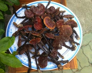 Nấm Lim Xanh Tiên Phước Quảng Nam (Ganoderma Lucidum)